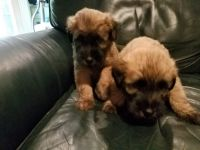 Soft-Coated Wheaten Terrier Puppies for sale in Lake Orion, Orion Charter Township, MI 48362, USA. price: NA