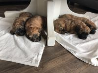 Soft-Coated Wheaten Terrier Puppies Photos