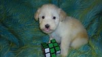 Soft-Coated Wheaten Terrier Puppies for sale in Joplin, MO, USA. price: NA