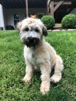Soft-Coated Wheaten Terrier Puppies for sale in Loma Linda, MO 64804, USA. price: NA