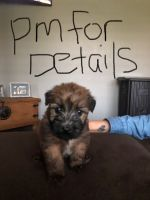 Soft-Coated Wheaten Terrier Puppies for sale in Coffeyville, KS 67337, USA. price: NA