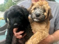 Soft-Coated Wheaten Terrier Puppies for sale in Saline, MI 48176, USA. price: NA