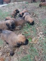 Soft-Coated Wheaten Terrier Puppies for sale in Mason, TX 76856, USA. price: NA