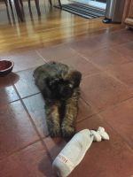 Soft-Coated Wheaten Terrier Puppies for sale in Boston, MA, USA. price: NA