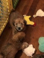 Soft-Coated Wheaten Terrier Puppies for sale in Wellsville, NY 14895, USA. price: NA