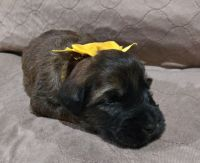 Soft-Coated Wheaten Terrier Puppies for sale in Richwoods, MO 63071, USA. price: NA