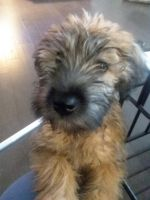 Soft-Coated Wheaten Terrier Puppies for sale in Frisco, TX, USA. price: NA