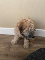 Soft-Coated Wheaten Terrier Puppies for sale in Houston, TX, USA. price: NA
