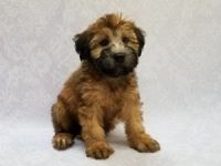 Soft-Coated Wheaten Terrier Puppies for sale in Rome, GA, USA. price: NA