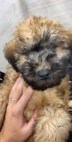 Soft-Coated Wheaten Terrier Puppies for sale in Estero, FL, USA. price: NA