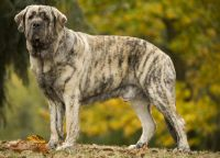 spanish mastiff dog