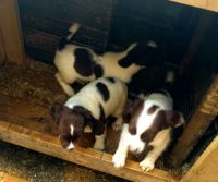 Spanish Pointer Puppies Photos