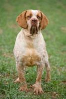 spanish pointer dog