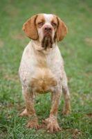 spanish pointer dog