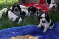 Spanish Water Dog Puppies for sale in El Paso, TX, USA. price: NA