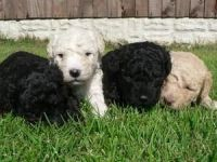 Spanish Water Dog Puppies for sale in Los Angeles, CA, USA. price: NA