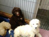 Spanish Water Dog Puppies for sale in Santa Clara, CA, USA. price: NA