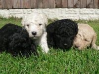 Spanish Water Dog Puppies for sale in California St, San Francisco, CA, USA. price: NA