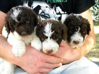 Spanish Water Dog Puppies for sale in Texas City, TX, USA. price: NA