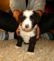 Spanish Water Dog Puppies for sale in Columbus, OH, USA. price: NA