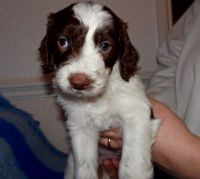 Spanish Water Dog Puppies for sale in Birmingham, AL, USA. price: NA