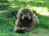 Spanish Water Dog Puppies for sale in OR-99W, McMinnville, OR 97128, USA. price: NA