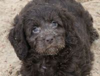 Spanish Water Dog Puppies for sale in Altamonte Springs, FL 32701, USA. price: NA