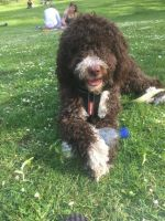 Spanish Water Dog Puppies for sale in New Castle, PA, USA. price: NA