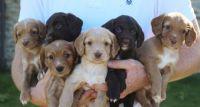 Spanish Water Dog Puppies Photos
