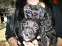Spanish Water Dog Puppies for sale in New York, NY, USA. price: NA