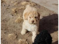 Spanish Water Dog Puppies for sale in TX-121, McKinney, TX, USA. price: NA