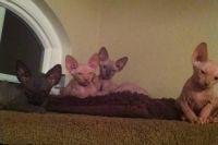 Sphynx Cats for sale in Murrieta, CA, USA. price: NA