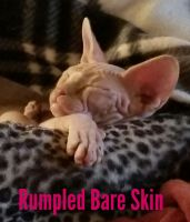 Sphynx Cats for sale in Riverbank, CA, USA. price: NA