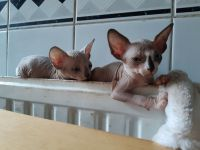 Sphynx Cats for sale in Charlotte, NC, USA. price: NA