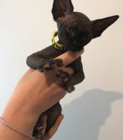 Sphynx Cats for sale in Orlando, FL 32818, USA. price: NA