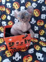 Sphynx Cats for sale in Baltimore, MD, USA. price: NA