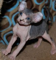 Sphynx Cats for sale in Richmond, VA, USA. price: NA