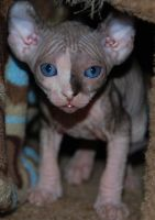 Sphynx Cats for sale in New Orleans, LA 70175, USA. price: NA