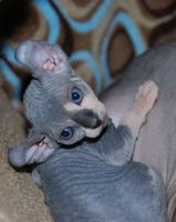 Sphynx Cats for sale in Springfield, IL 62736, USA. price: NA