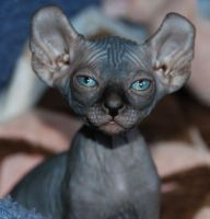 Sphynx Cats for sale in Seattle, WA, USA. price: NA