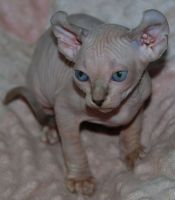 Sphynx Cats for sale in Knoxville, TN, USA. price: NA