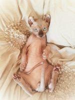 Sphynx Cats for sale in Saginaw, MI, USA. price: NA