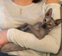Sphynx Cats for sale in F1B Atlantic Blvd, Jacksonville, FL 32224, USA. price: NA