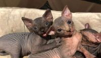 Sphynx Cats for sale in Thomaston Ave, Waterbury, CT, USA. price: NA