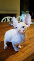 Sphynx Cats for sale in Detroit, MI, USA. price: NA
