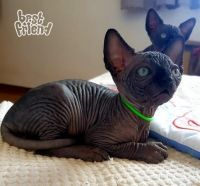 Sphynx Cats for sale in Fort Worth, TX, USA. price: NA