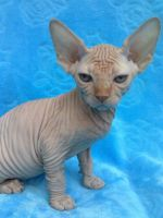 Sphynx Cats for sale in Des Moines, IA, USA. price: NA