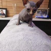 Sphynx Cats for sale in Phoenix, AZ 85069, USA. price: NA