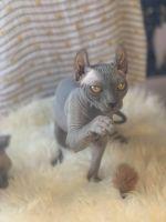 Sphynx Cats for sale in Fresno, CA 93726, USA. price: NA