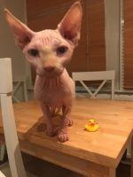 Sphynx Cats for sale in Denver, CO 80281, USA. price: NA